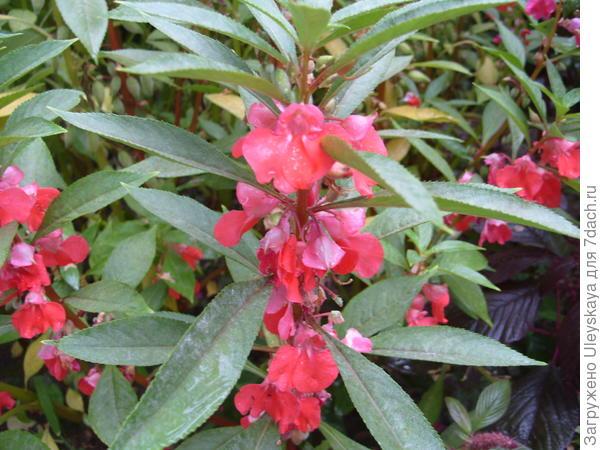 Цветет бальзамин бальзаминовый