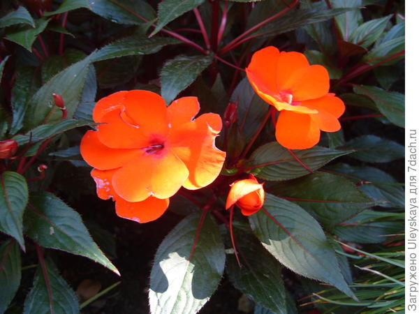 Цветет оранжевый новогвинейский бальзамин
