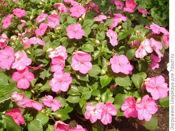 Обильное цветение бальзамина Уоллера