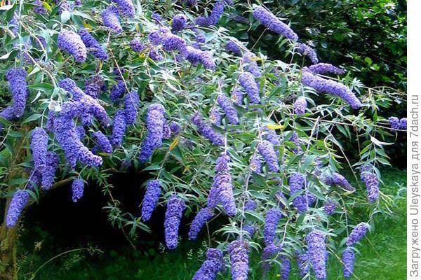 Буддлея Давида сорт Adonis Blue, фото сайта plants-club.ua