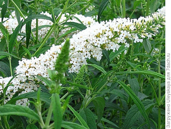Буддлея Давида сорт White Profusion, фото сайта www.vsevsad.org