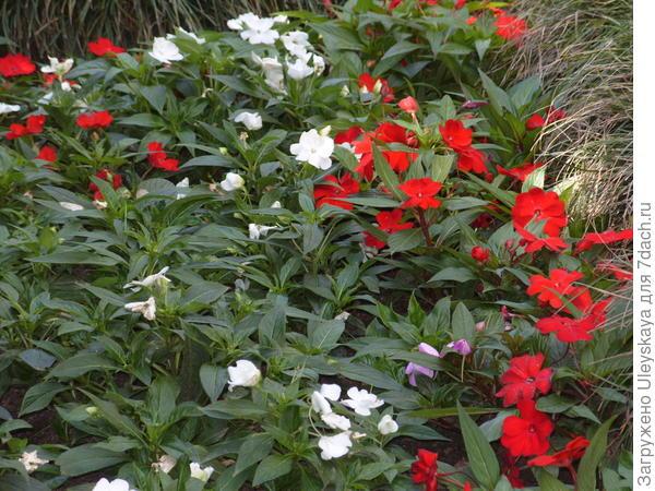 Цветущие бальзамины