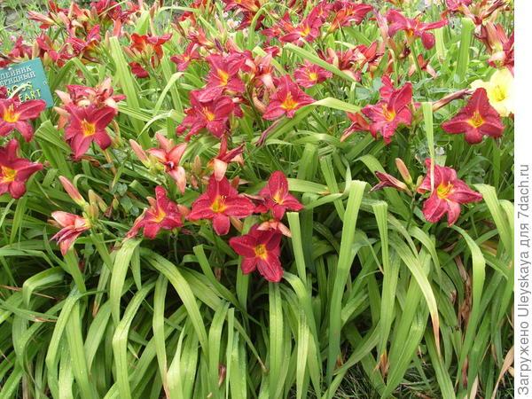 Лилейники – феерия цветения плюс фонтан листьев
