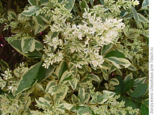 Цветет пестролистная бирючина овальнолистная, но не в цветении её красота, а в листьях