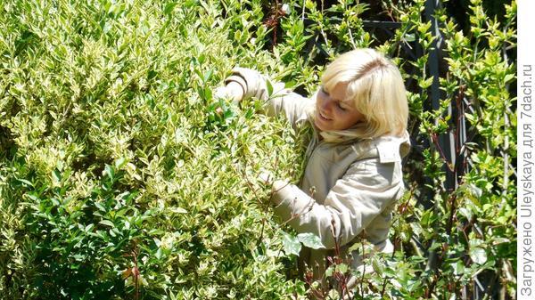 Оля вырезает зеленые побеги у пестролистной бирючины овальнолистной