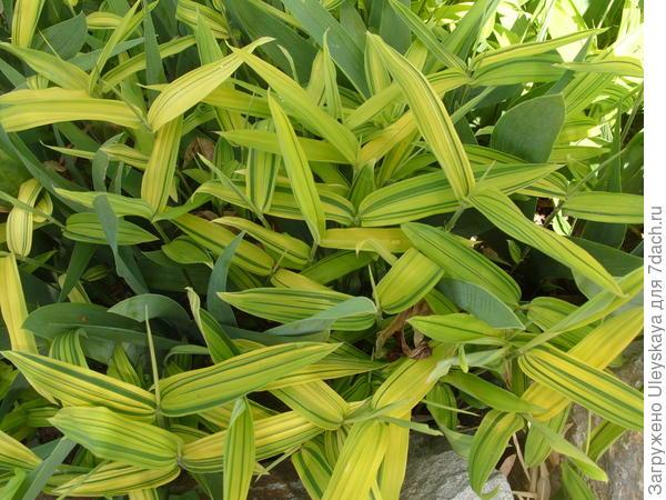 Плейобластус зелено-полосатый