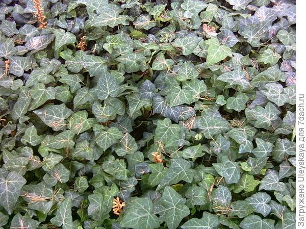 Плющ крымский - почвопокровное растение
