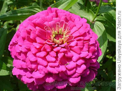Цинния изящная сорт Пурпурный Принц, фото с сайта www.rastenya.com