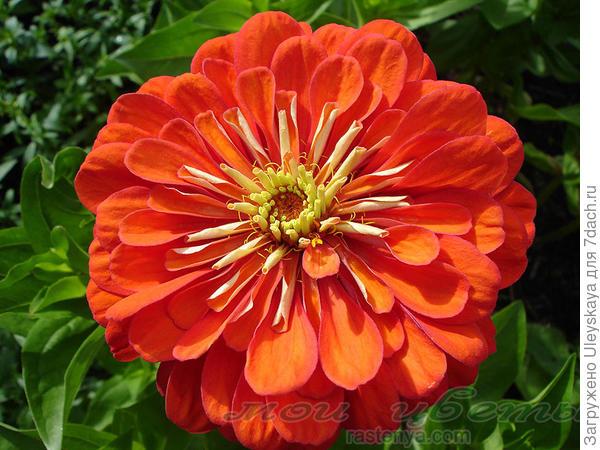 Цинния изящная сорт Скарлет Флейм, фото с сайта www.rastenya.com