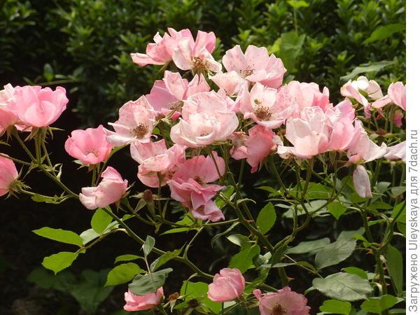 Роза флорибунда сорт Мотылек