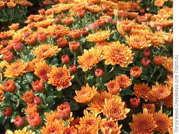 Цветет мелкоцветковая дендрантема сорт Elda Orange