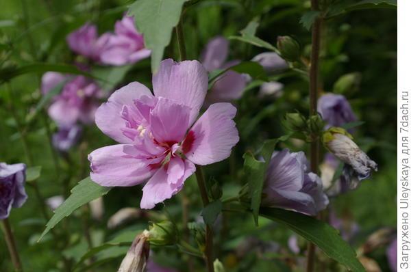 Цветет гибискус сирийский в сентябре