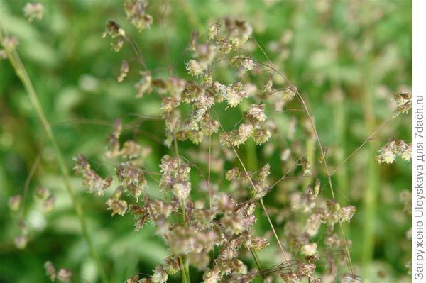 Трясунка средняя, фото с сайта flower.onego.ru