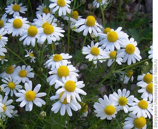 Ромашка лекарственная или аптечная, фото с сайта herbologymanchester.wordpress.com