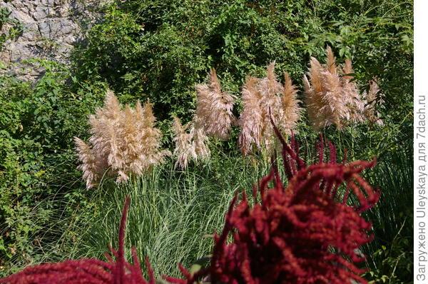 Амарант метельчатый и кортадерия Селло или пампасская трава