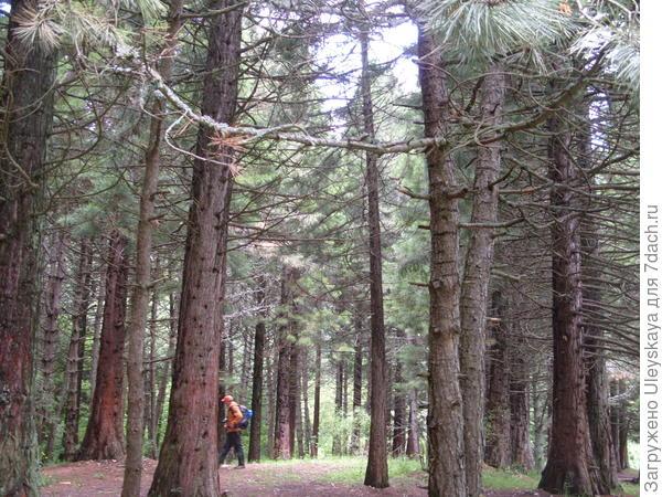 В посадках секвойдендрона гигантского словно в лесу