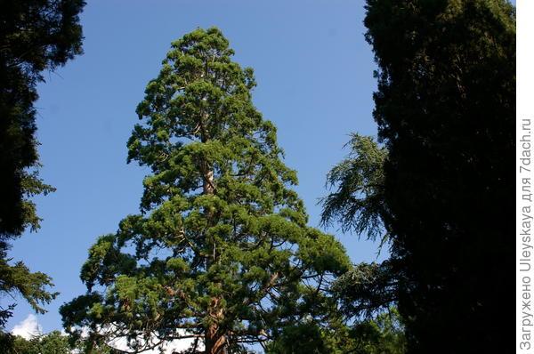 Второй секвойдендрон гигантский, растущий на куртине 9 Верхнего парка Арборетума НБС