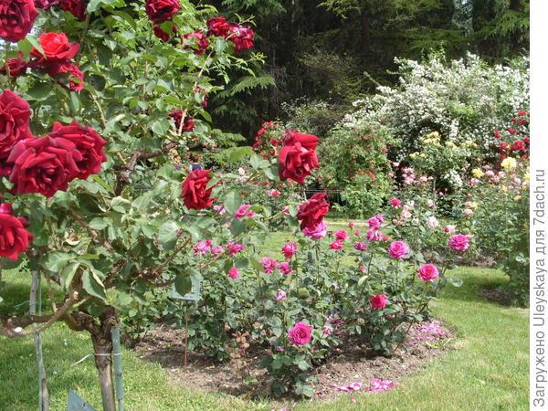 Гармоничная композиция штамбовых и кустовых роз