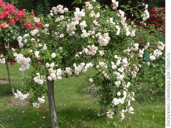 Штамбовая роза из группы почвопокровных сорт Swany