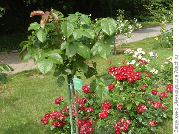 Здоровый штамб с уже привитой розой весной