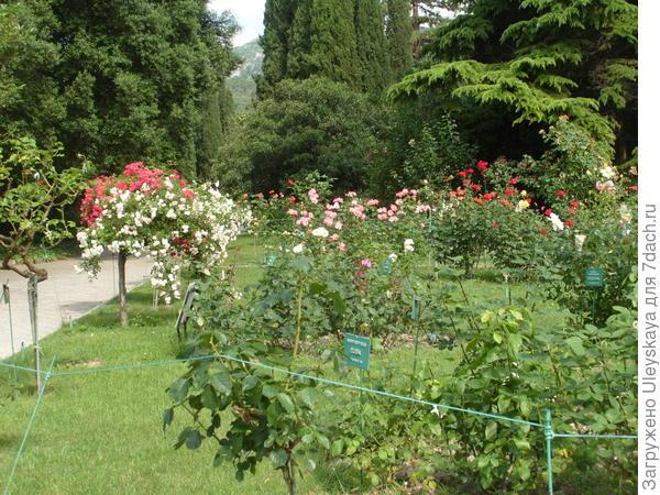 Штамбовые розы вдоль дорожки