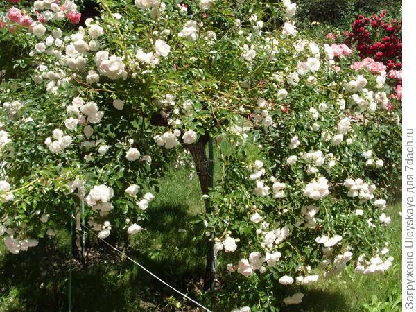 Штамбовая роза плакучей формы