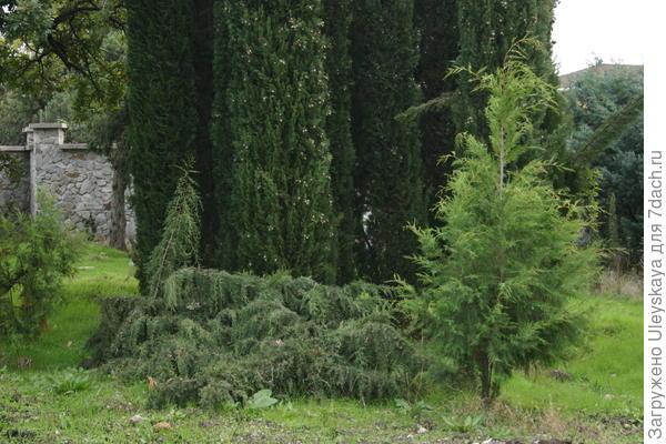 Кипарис вечнозеленый форма Indica
