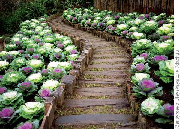 Декоративный огород вдоль дорожки из капусты, фото сайта landscape-project.com