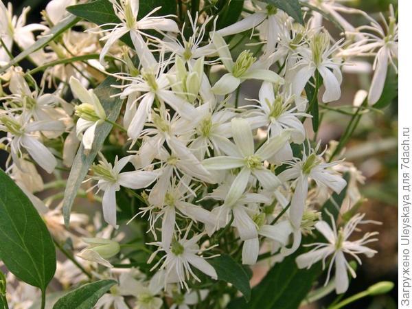 Клематис жгучий можно вырастить из семян, фото сайта www.baumschule-horstmann.de