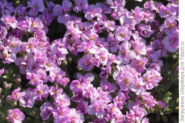 Обриета дельтовидная сорт Bressingham Pink, фото сайта flower.onego.ru