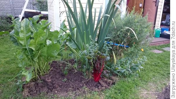 Садовый квартет: хрен, японский ирис, эстрагон и свекла мангольд,  фото пользователя сайта Елены Баянкиной