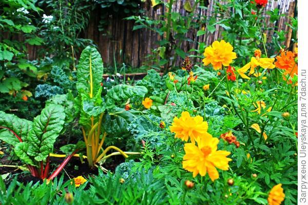 Мангольд и другие растения, фото сайта immunitygardens.com