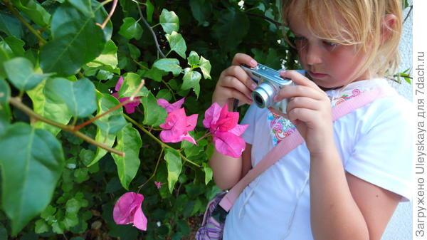 Бугенвиллея голая в цветении крупным планом