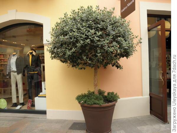 Кадочное растение у входа в магазин, Испания, Барселона