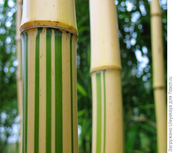 Третий бамбук, фото сайта www.shweeashbamboo.com