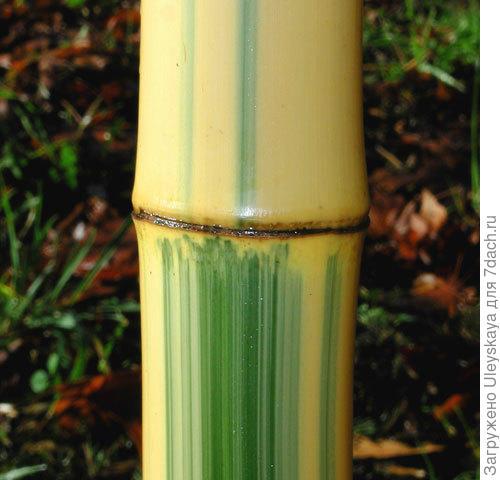Первый бамбук, фото сайта www.bamboogarden.com