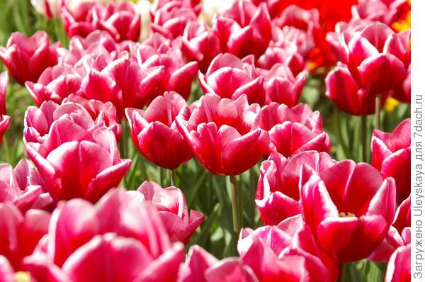 И это тоже тюльпаны
