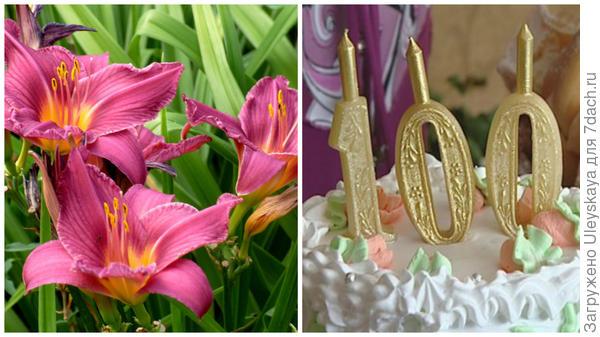 Цветок сорта Hundredth Anniversary в моем объективе, праздничный торт, фото сайта www.gtrk-saratov.r