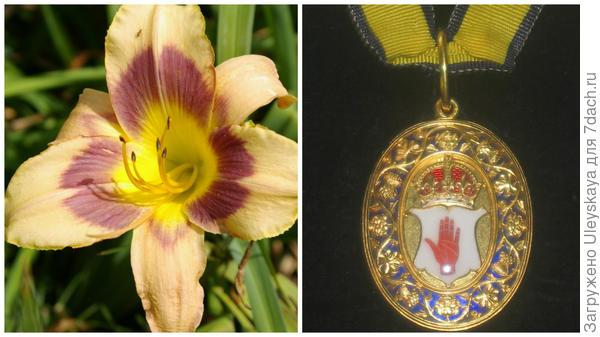 Слева цветок сорта Baronets Badge, справа знак баронета, фото сайта dic.academic.ru