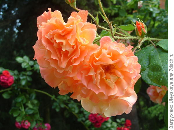Роза сорт Westerland