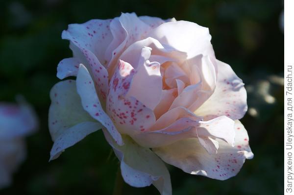 Роза в октябре