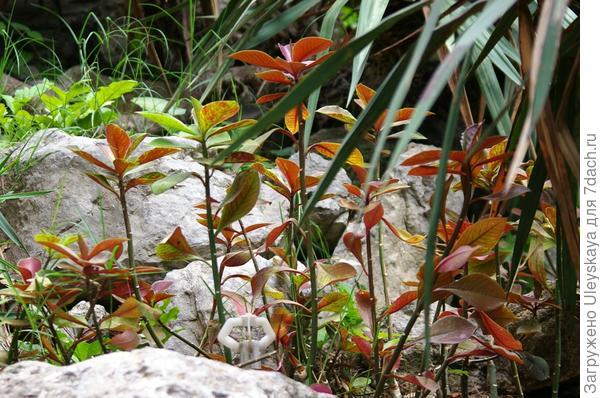 Синадениум летом в открытом грунте, Южный берег Крыма