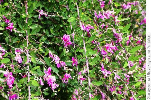 Цветет леспедеца Тунберга