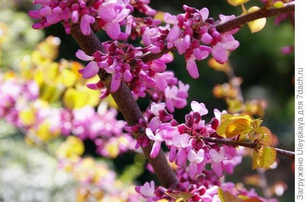 Церцис стручконосный весной