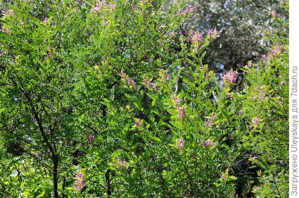 Цветет индигофера Жерара