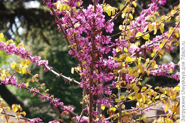 Цветет церцис стручконосный