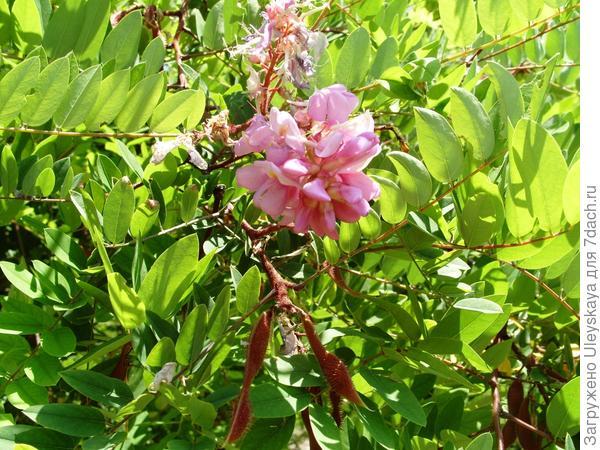 Цветет робиния клейкая