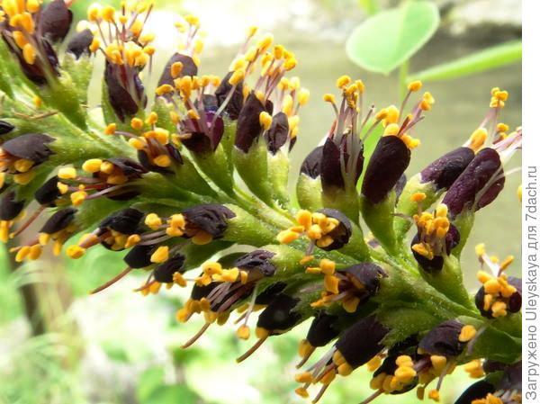 Соцветие аморфы кустарниковой, фото alexkis