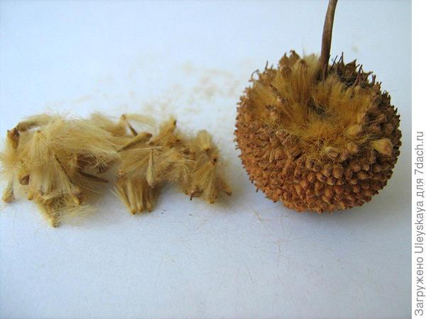 Семена и соплодие платана, фото сайта www.liveinternet.ru