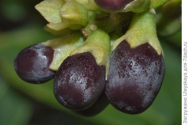 Плоды цеструма Парка, фото сайта http://www.asergeev.com/pictures/archives/2008/691/jpeg/07.jpg